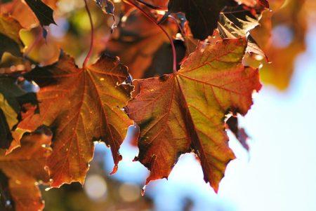"Lindenhaus Blutahorn Acer platanoides ""Crimson King"""