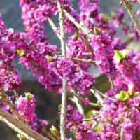 Pixabay daphne-100035_1280 Waldgarten klein