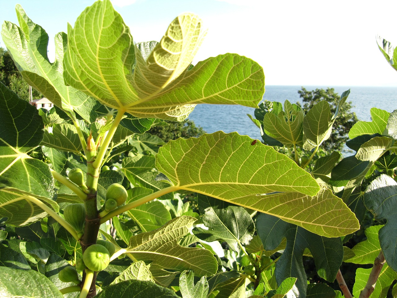 Pixabay figs-49072_1280 Mediteraner Garten